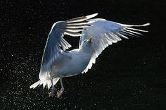 Herring gull: by David Tipling