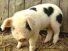 CUTIE PIG!!!