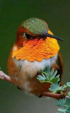 Beautiful Rufus Hummingbird!  :)