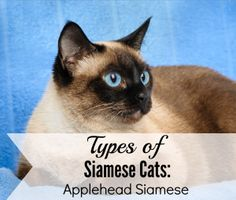 Types Of Siamese Cats: The Applehead Siamese Cat