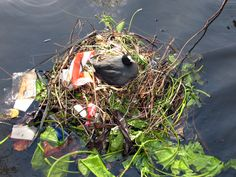 coots constructing their nest; usually surrounded by water, attached to some piece of garbage in the water (most likely a sunken bicycle or shopping cart), or along the water's edge. It was fun to watch them build their nests, which would be made up of primarily vegetation, but also pieces of paper, plastic bags and other found garbage. By Birdorable.