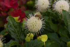 Cephalanthus occidentalis is an excellent shrub for beautiful flowers that attract butterflies and bees to the garden and is available from Big Plant Nursery Little Flowers, White Flowers, Beautiful Flowers, Flowers That Attract Butterflies, Little Planet, Big Plants, Plant Nursery, Late Summer, Open Up