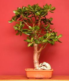 Jade Plant - Crassula Ovata. Growing Conditions: Bright light with some direct sun; 60-75°F, 15-24°C; Allow soil to dry out slightly between waterings. Dropped leaves or brown spots on leaves are signs that the plant needs more water.