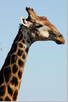 The Giraffe Personality. The giraffe personality is usually a bit vague because he is an inveterate dreamer. He doesn't see the big picture because his head is always in the clouds. Personality Types, Big Picture, The Dreamers, Clouds, Giraffes, Pictures, Animals, Photos, Animales