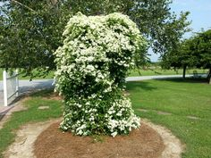 """""""Sweet Autumn Clematis"""" oh the smell! Sweet Autumn Clematis, Patio Plants, Climbing Roses, Vines, Yard, Gardening, Outdoor Decor, Patio, Garten"""