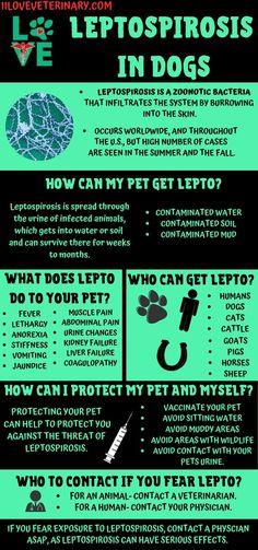 Leptospirosis in Dogs - I Love Veterinary Veterinary Receptionist, Veterinary Medicine, Veterinary Technician, Veterinarian Assistant, Vet Tech Student, Vet Med, Vet Clinics, Pet Health, Need To Know