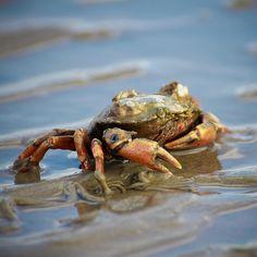 Krebs, Krabbe, Crab - Impressionen Wattenmeer, Nordsee