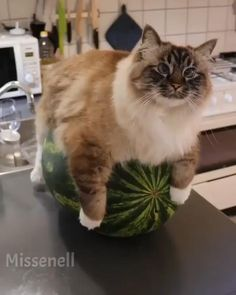 Funny Cute Cats, Cute Baby Cats, Cute Cats And Kittens, Cute Funny Animals, Cool Cats, Cute Dogs, Cute Animal Videos, Funny Animal Pictures, Beautiful Cats