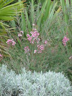 Floraison de la myrte de Nouvelle-Zélande au coeur de l'hiver http://www.pariscotejardin.fr/2014/02/floraison-de-la-myrte-de-nouvelle-zelande-au-coeur-de-l-hiver/
