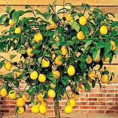 The most popular indoor fruit tree is the Meyer lemon tree.  Easy to grow, fragrant, and those luscious full-sized lemons! Perfect fruit tree for growing indoors in a container.  Very rewarding!