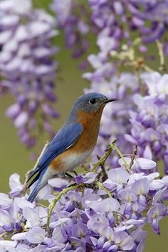 little bluebird on the lilacs...                                                                                                                                                     More