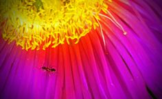 Glorious Color-with a close up of a visiting ant.Amazing color.