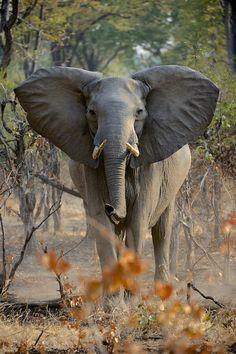 Majestuoso elefante