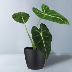 Planta Alocasia, Alocasia Plant, Indoor Plants Names, All Plants, Elephant Ear Plant, Elephant Ears, House Plants Decor, Plant Decor, Plant Delivery