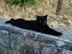 (^.^) Beautiful black cat. I love them. Adopt them foster them. They need love. A cat is a cat.