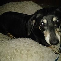 Available Pets At Skyway Dachshund Rescue Inc In Pinellas Park Florida Clever Dog Dachshund Dachshund Breed