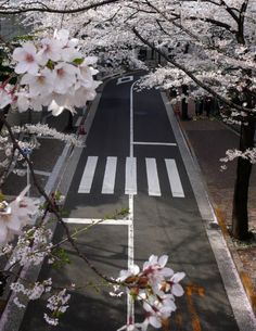 cherry blossoms and empty streets