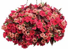 Prairie Fire Proven Winners Combination - Supertunia Red Petunia, Illusion Garnet Lace Ipomea, Superbena Royale Peachy Keen Verbena