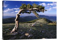 buy positive wall art photo Bristlecone Pine, Mt Evans, Colorado at www.explosionluck.com