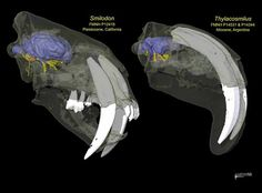 Comparison of Smilodon and Thylacosmilus skulls  1390588_10151692506395689_888472544_n.jpg (720×531)