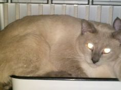 Thunder is an adoptable Siamese Cat in Cumming, GA. I'm Thunder, a handsome Blue Point Siamese male born around 7/21/10. Currently I live with a loving foster family where I'm learning to be a great h...