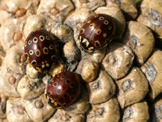 http://faaxaal.forumactif.com/t5323-photo-de-coccinelle-ocellee-d-amerique-anatis-mali-eyespotted-lady-beetle-eye-spotted-lady-beetle