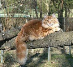 this cat is amazing. #NorwegianForestCat