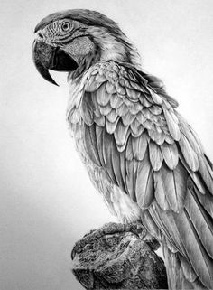 Ara parrot drawing