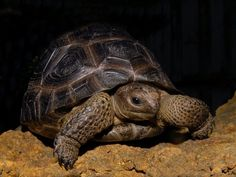 Aldabra Tortoise for sale from The Turtle Source
