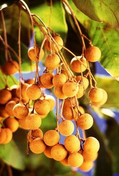 My favorite!  Longan is an Asian fruit with a translucent flesh that has grape-like texture. It is related to the lychee, and also similar in that it grows on trees in bunches.