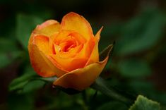 Pictures of Beautiful Roses - Roses are the queen of all flowers. Rose Flower Pictures, Rose Photos, All Flowers, Orange Roses, Purple Roses, Beautiful Roses, Beautiful Gardens, Pictures Of Crystals, Rose Rise