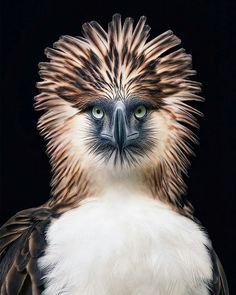 The Philippine eagle is among the rarest and most powerful birds in the world. It has been declared the Philippine national bird. It is critically endangered, mainly due to massive loss of habitat resulting from deforestation in most of its range Extinct Animals, Rare Animals, Animals And Pets, Wild Animals, Extinct Birds, Animals Planet, Wildlife Photography, Animal Photography, Portrait Photography