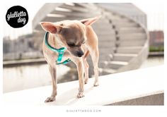 Stylish chihuahua in Milan♥! #giuliettalovers #fashionchihuahua #stylish #livingMilan #Milan #style #glam
