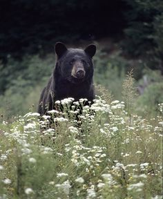 ".Even a big ol' bear loves flowers.  I am reminded of the movie ""Bambi"" and Bambi loving to smell the flowers!"