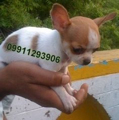 38 Best apple head chihuahua images | Chihuahua, Chihuahua