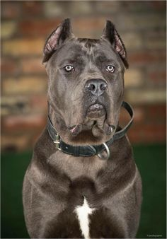 reserved now but what an epic dog he is ! One perfect working Cane Corso ready to go to his new family next week Puppies For Sale, Dogs And Puppies, Doggies, Cane Corso For Sale, Cane Corso Dog, Big Dogs, Fur Babies, Pitbulls, Awesome Dogs