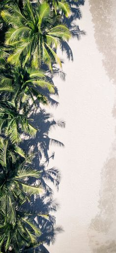 coconut palm trees #Christmastree #tree #summer #palmtree #tropical #vietnam #iPhone11Wallpaper Leaves Wallpaper Iphone, Palm Leaf Wallpaper, Wallpaper Space, Summer Wallpaper, Iphone Wallpapers, Coconut Palm Tree, Tropical Background, Summer Backgrounds, Tropical Beaches
