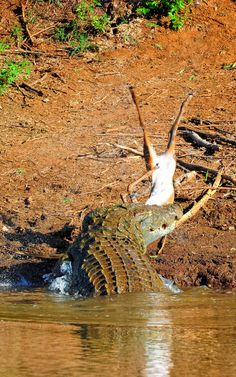 Crocodile kill in the Luvuvhu river Kruger National Park, National Parks, Crocodile Eating, Snake Images, Baby Tortoise, Crocodiles, Africa Travel, Travel Photographer, Crocodile