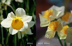 Paper Daffodils - using cupcake holders