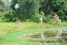 Giraffe family at one of the dams at Sibuya Game Reserve, Eastern Cape, South Africa www.sibuya.co.za
