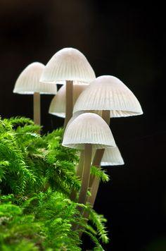 Beautiful Mycena Mushrooms