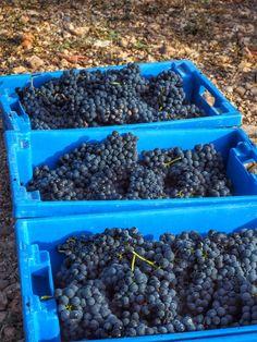 Tempranillo harvest in Rioja
