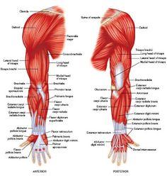 UL Muscles