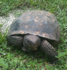 """""""Our"""" gopher tortoise."""