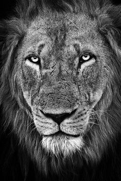 The King's Face (lion) by Xenedis