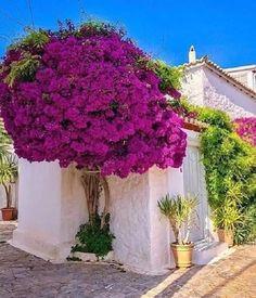 Bougainvillea Tree, Greek Islands, Flower Beds, Amazing Flowers, Beautiful Gardens, Garden Landscaping, Beautiful Places, Scenery, Backyard