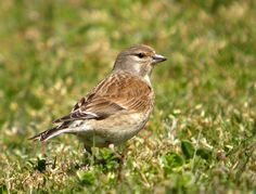 Linnet, Bap, Action, Birds, Content, Animals, Group Action, Animales, Animaux