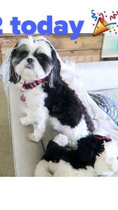 Alisha Maria dog Chole is 2 today go watch Alisha volg for Chole birthday  (null) Made with Flipagram - https://flipagram.com/f/qBouVV5XH3