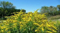 Nebraska's State Flower Goldenrod