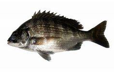 クロダイ(チヌ) Fish, Meat, Pisces